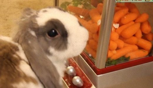 UFOキャッチャーを操作する天才ウサギが現る!!