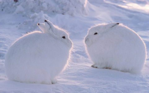 まるで雪見だいふくみたいなホッキョクウサギが「立った時」のギャップが凄すぎる笑